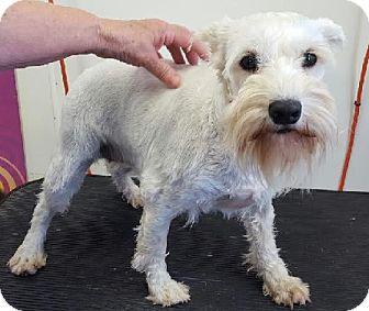 Miniature Schnauzer Puppy for adoption in Union Grove, Wisconsin - London - PENDING!!!