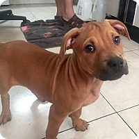 Adopt A Pet :: Pheobe - Miami, FL