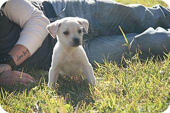Labrador Retriever Mix Puppy for adoption in Destrehan, Louisiana - Jaume