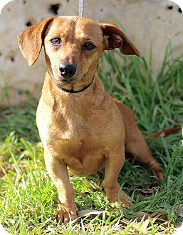 Dachshund Mix Dog for adoption in Wheaton, Illinois - APPLE