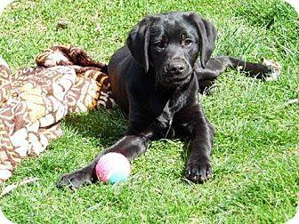 Labrador Retriever Mix Dog for adoption in Lima, Pennsylvania - Beauty