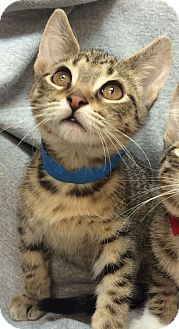 Domestic Shorthair Kitten for adoption in University Park, Illinois - Meelo