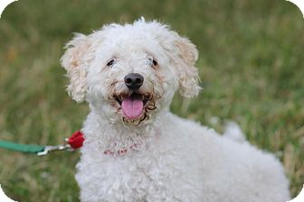 Maltese/Poodle (Miniature) Mix Dog for adoption in Midland, Michigan - Charming - $75