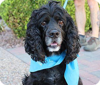 Cocker Spaniel Dog for adoption in Las Vegas, Nevada - BROWNIE