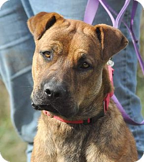 Shar Pei/German Shepherd Dog Mix Dog for adoption in Lisbon, Ohio - Bane- SPONSORED