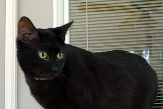 Domestic Shorthair Cat for adoption in Durham, North Carolina - Yoda