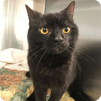 Domestic Shorthair Cat for adoption in Peace Dale, Rhode Island - Noche