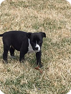 Labrador Retriever/Pit Bull Terrier Mix Puppy for adoption in Hammonton, New Jersey - Buddy