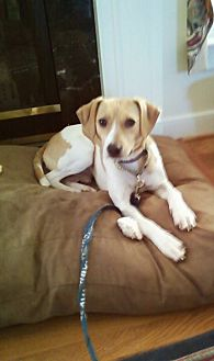Hound (Unknown Type) Mix Puppy for adoption in Midlothian, Virginia - Highway aka WayWay/Freeway