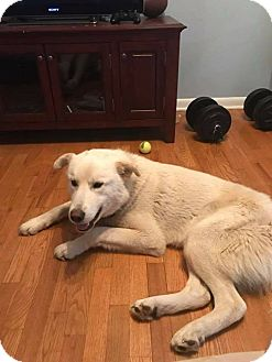 Shepherd (Unknown Type) Mix Dog for adoption in Laingsburg, Michigan - Donte