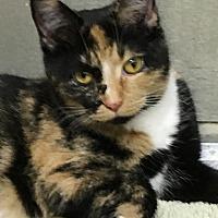 Calico Cat for adoption in Trevose, Pennsylvania - Mary Rose