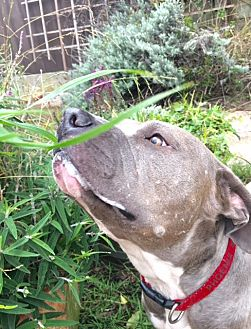 Pit Bull Terrier Mix Dog for adoption in San Francisco, California - Skye
