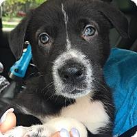 Adopt A Pet :: Marshall CO - Schertz, TX