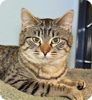 Domestic Shorthair Cat for adoption in Spokane Valley, Washington - Janie