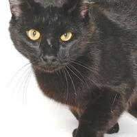Domestic Shorthair/Domestic Shorthair Mix Cat for adoption in Gloucester, Virginia - SAFRO