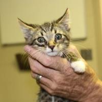 Adopt A Pet :: 35864393 - Cleveland, AL