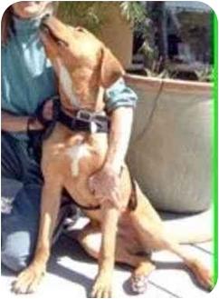 Retriever (Unknown Type)/Rhodesian Ridgeback Mix Dog for adoption in Berkeley, California - Gabriel