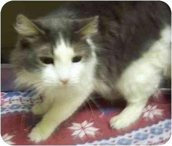 Domestic Longhair Cat for adoption in Howes Cave, New York - Prince Albert