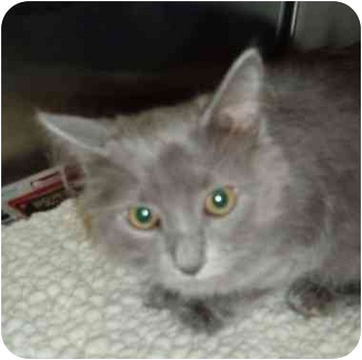 Domestic Longhair Kitten for adoption in Troy, Ohio - Columbo