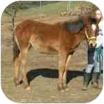 Quarterhorse for adoption in El Dorado Hills, California - Dayton
