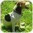 Photo 2 - Jack Russell Terrier Dog for adoption in Warren, New Jersey - Rae