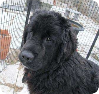 Newfoundland Puppy for adoption in Ile-Perrot, Quebec - LUCY