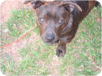 Dachshund/Terrier (Unknown Type, Small) Mix Dog for adoption in Blanchard, Oklahoma - Snickers