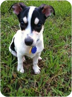 Rat Terrier/Chihuahua Mix Puppy for adoption in Houston, Texas - Olivia in Houston