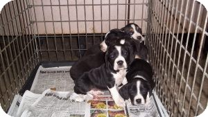 Beagle/Basset Hound Mix Puppy for adoption in Marlton, New Jersey - Beagle Babies