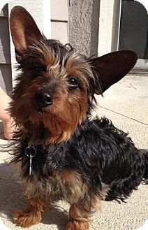 Yorkie, Yorkshire Terrier/Dachshund Mix Puppy for adoption in Orange, California - Tootsie