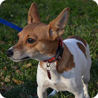 Rat Terrier/Terrier (Unknown Type, Small) Mix Dog for adoption in Troy, Ohio - CeeCee~ADOPTED!!