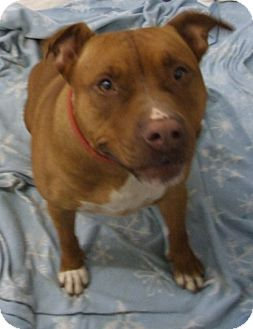 Pit Bull Terrier/Terrier (Unknown Type, Medium) Mix Dog for adoption in Kalamazoo, Michigan - Melissa