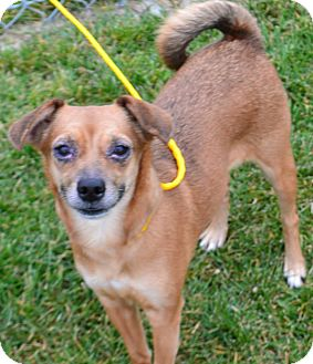Chihuahua Mix Dog for adoption in Fruit Heights, Utah - Nutmeg