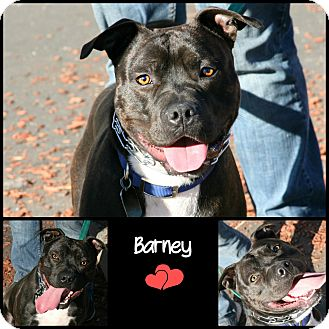American Pit Bull Terrier Mix Dog for adoption in Yuba City, California - Barney