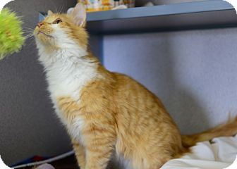 Domestic Mediumhair Cat for adoption in Gardnerville, Nevada - Miles