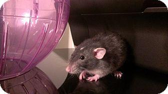Rat for adoption in Dallas, Texas - Lustre