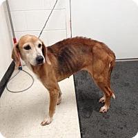 Adopt A Pet :: Bonnie - Lancaster, VA