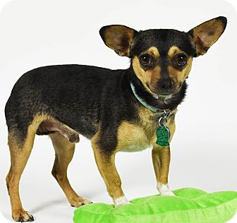 Chihuahua Mix Dog for adoption in Port Washington, New York - Orzo