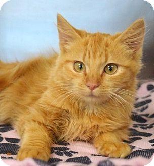 Domestic Mediumhair Kitten for adoption in Dublin, California - Reba