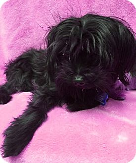 Maltese/Poodle (Miniature) Mix Dog for adoption in West Palm Beach, Florida - Bruce