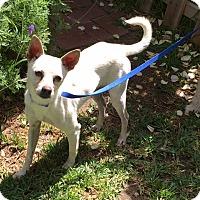 Adopt A Pet :: Charlie - Toluca Lake, CA