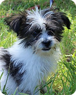 Shih Tzu/Terrier (Unknown Type, Small) Mix Puppy for adoption in Monroeville, Pennsylvania - LEVI