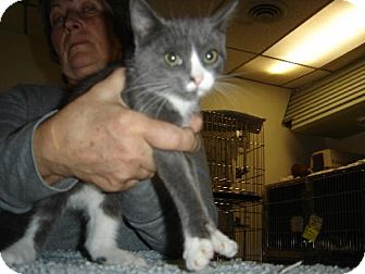 Domestic Shorthair Kitten for adoption in Island Heights, New Jersey - Jamie