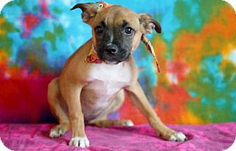 Boxer Mix Puppy for adoption in Voorhees, New Jersey - Molly