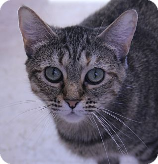 Domestic Shorthair Cat for adoption in O Fallon, Illinois - Tigress