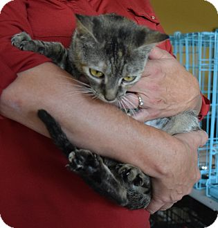 Domestic Shorthair Cat for adoption in Surrey, British Columbia - Hazel