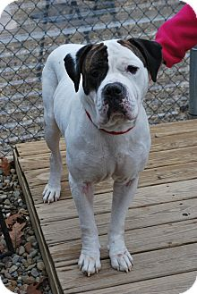 American Bulldog Mix Dog for adoption in Berea, Ohio - Milkshake