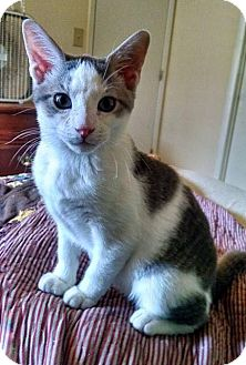 Domestic Shorthair Kitten for adoption in Oxford, Connecticut - Han