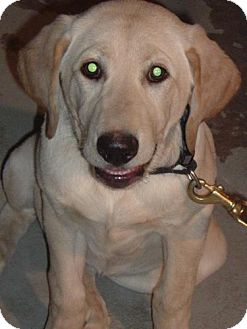 Labrador Retriever Puppy for adoption in Palatine/Kildeer/Buffalo Grove, Illinois - Mindy