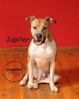 Pit Bull Terrier Mix Dog for adoption in Topeka, Kansas - Jupiter